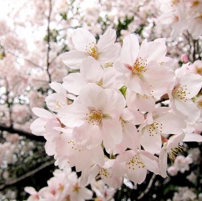 「賃上げの花が舞い散る…」 安倍首相の俳句にツッコミ殺到「散っちゃダメだろ!」