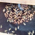 なぜ働き蜂が好きなの?