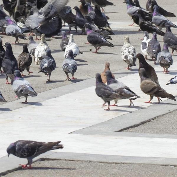 「ハトと、どんな絆を築きあげたいと思ってらっしゃるんですか?」 名古屋のハト男への突撃取材に視聴者から失笑漏れる