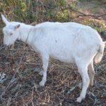 のびのびと草を食べるヤギ