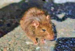 ネズミの種類によって増減の程度が違うのでは、と指摘しています