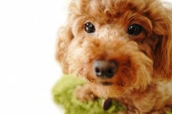 変わらず小型犬が人気