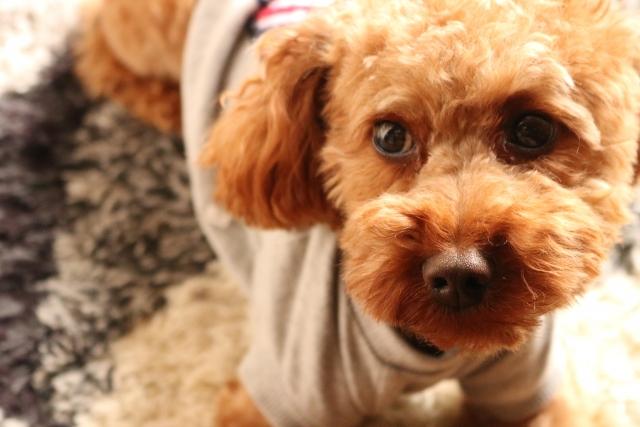 犬はペットサロンで1万円のトリミング